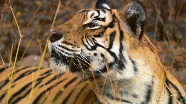 Most Famous Tigers In India